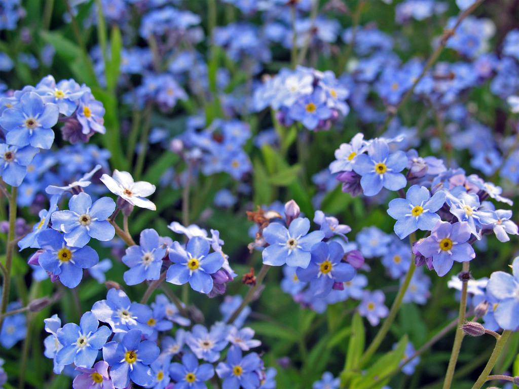forget-me-not-flowers-22283849